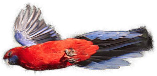 Bright Red Crimson Rosella Zooming Through the Sky
