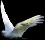 Sulphur crested cockatoo flying